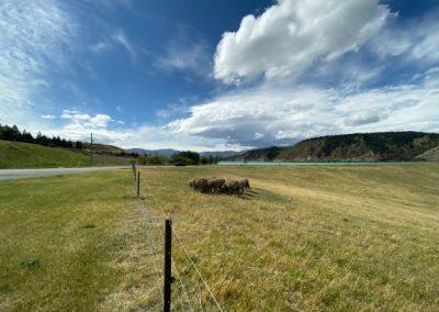 paysage de moutons