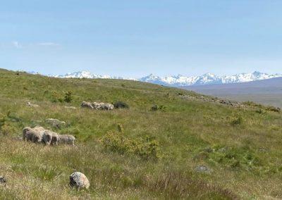 moutons et chaine de montagne